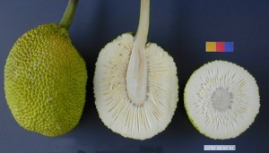 Breadfruit (Wikipedia)